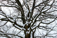 Mighty tree trunk with large branches covered in winter snow Royalty Free Stock Image