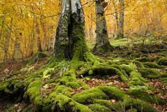 Mighty trees in autumn. Big mighty old trees covered with green moss standing in the forest in autumn colors Stock Images
