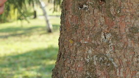 Mighty trunk of the pine tree in the park stock footage
