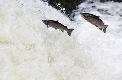 Large Atlantic salmon leaping up the waterfall on their way migr. The mighty Wild Atlantic salmon travelling to spawning grounds during the summer in the royalty free stock images