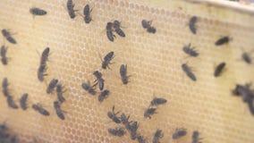 Migliaia di api sui favi con miele Api che raccolgono nettare e che mettono nelle cellule esagonali dopo il ritorno all'alveare video d archivio