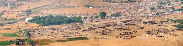 Migliaia di cammelli e di altro bestiame al cammello di Pushkar giusto dentro Fotografia Stock
