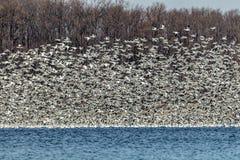 Migliaia di oche polari volano insieme durante la migrazione dell'inverno Fotografia Stock Libera da Diritti