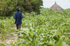Miglio che coltiva nel Sudan del sud Fotografia Stock