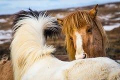 Migliore amico islandese del cavallo Immagini Stock Libere da Diritti