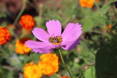 Migliore fiore Fiore del petalo Immagini Stock
