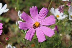Migliore fiore Fiore del petalo Immagini Stock Libere da Diritti