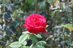 Migliore fiore Fiore del petalo Il bianco è aumentato Fotografie Stock Libere da Diritti