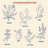 Migliori erbe per digestione dell'aiuto royalty illustrazione gratis
