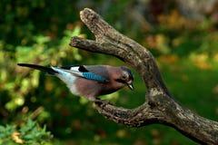 Migliori un uccello nella mano che due nel cespuglio Fotografie Stock