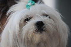 Mignon canin blanc de chien maltais Photo libre de droits