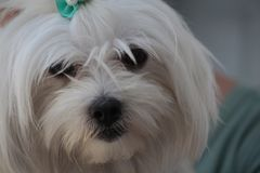 Mignon canin blanc de chien maltais Photographie stock