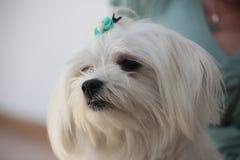 Mignon canin blanc de chien maltais Image libre de droits