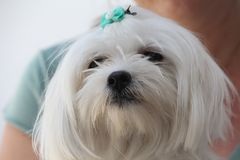 Mignon canin blanc de chien maltais Photos stock