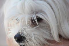 Mignon canin blanc de chien maltais Photos libres de droits