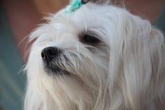 Mignon canin blanc de chien maltais Photo stock