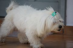 Mignon canin blanc de chien maltais Images stock