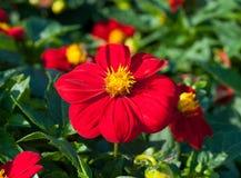 Mignon Firebird blanddahlia Royaltyfria Bilder