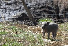 Mignon small pigs in a farm in Ekkele, Hungary.  royalty free stock images
