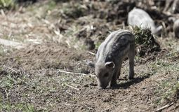 Mignon small pigs in a farm in Ekkele, Hungary.  stock photos
