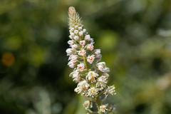 Mignonette blanc Reseda alba Photographie stock
