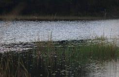 MIGOCĄCY światełko NA rzece Z ZIELONĄ trawą W przedpolu fotografia stock