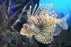 Migotliwy Firefish dopłynięcie Obok korala w oceanie obraz stock