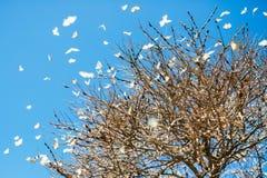 Migração branca da borboleta da alcaparra que pulula em uma árvore do outono em Queensland ocidental Imagem de Stock