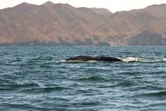 Migração da baleia em Magdalena Bay Imagens de Stock
