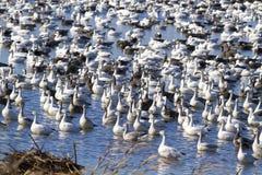 Migração da queda dos gansos de neve foto de stock royalty free