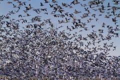 Migração da queda dos gansos de neve fotografia de stock