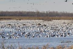 Migração da queda dos gansos de neve fotos de stock