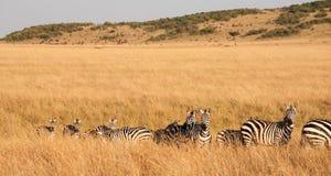 Migração da zebra Fotos de Stock Royalty Free