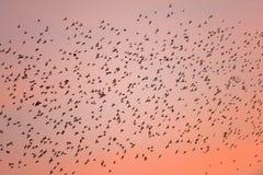 Migração de pássaro no por do sol Imagem de Stock