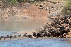 Migração do gnu Fotografia de Stock