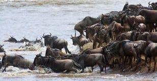 Migração do gnu que entra no rio Fotografia de Stock Royalty Free
