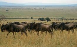 Migração do Wildebeest Fotos de Stock Royalty Free