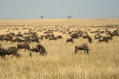 Migração do Wildebeest Imagem de Stock Royalty Free