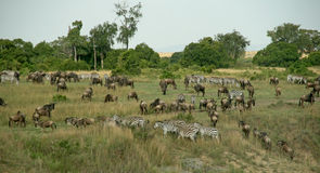 Migração do Wildebeest Imagem de Stock
