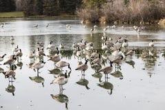 Migração dos gansos Fotos de Stock