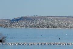 Migração dos gansos de neve foto de stock