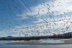Migração dos gansos de neve fotos de stock royalty free