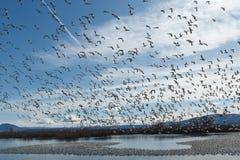 Migração dos gansos de neve foto de stock royalty free