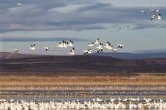 Migração dos gansos de neve fotografia de stock royalty free