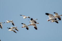 Migração dos gansos de neve imagem de stock royalty free