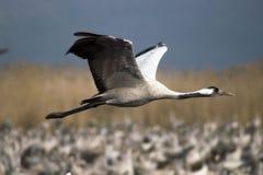 Migração dos pássaros Fotos de Stock Royalty Free