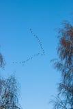 Migração dos pássaros Imagens de Stock Royalty Free