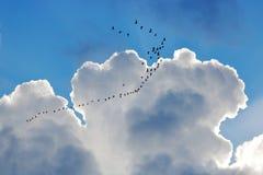 Migração e nuvens dos gansos de Canadá fotografia de stock royalty free