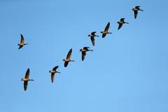 Migração selvagem do ganso no outono fotografia de stock