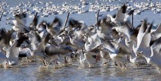 Migración 2 de los gansos de nieve - algún grano Foto de archivo libre de regalías